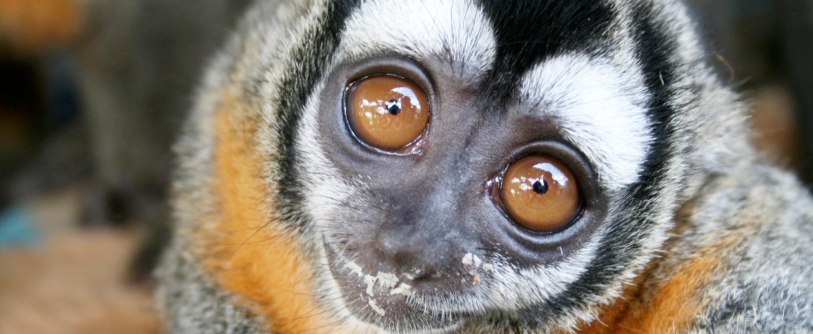 南米ペルーのタリカヤ自然保護区で保護されたサル